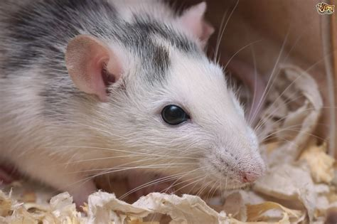 rats as pets how to find buy healthy pet rats pets4homes