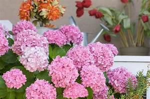 Hortensien Wann Schneiden : bauernhortensien schneiden hortensien richtig schneiden ~ Lizthompson.info Haus und Dekorationen