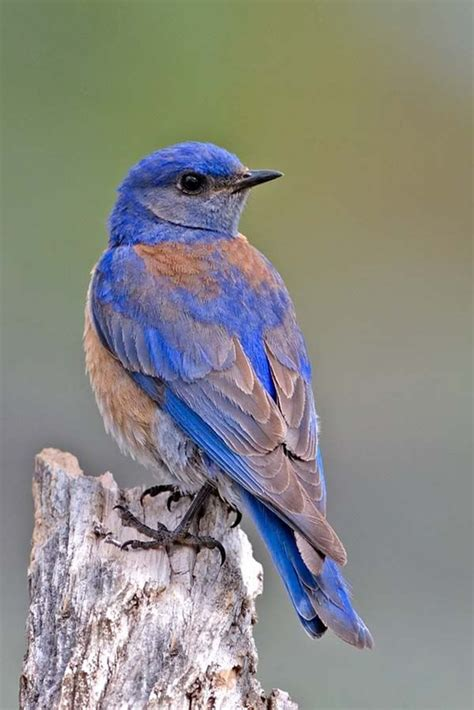 eastern bluebirds occur across eastern north america and