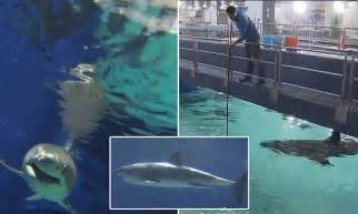 great white shark dies   days  japanese