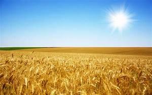 Harvest of golden wheat fields Wallpaper 3 - Landscape ...