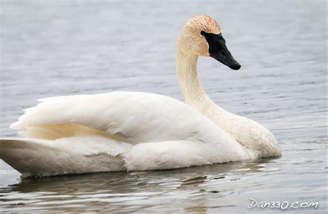swans trumpeter regular visitor livedan330 migrate winter lake grew fortunate homes shot