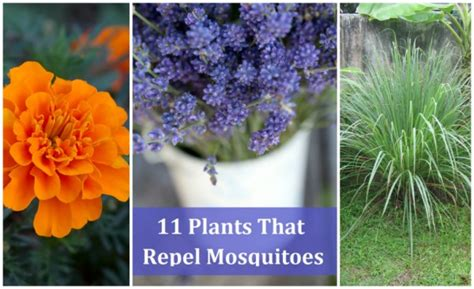 plants that repel mosquitoes 11 plants that repel mosquitoes how to instructions