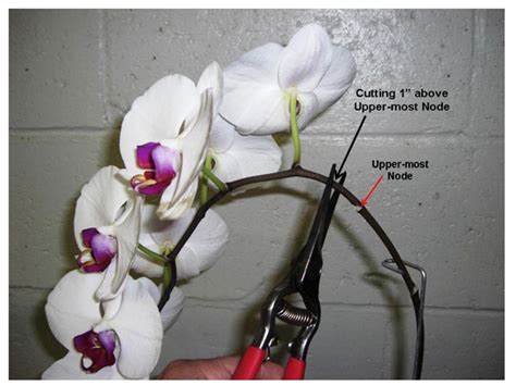 when to trim an orchid orchids phalaenopsis
