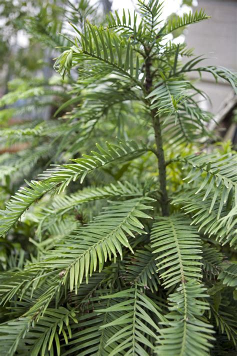 Wollemi Pine   ClipPix ETC: Educational Photos for