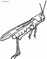 Cricket Coloring Insect Drawing Grasshopper Clipartmag sketch template