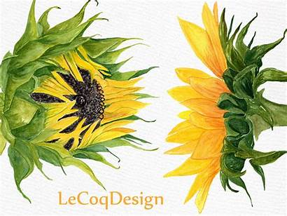 Sunflower Watercolor Clipart Clip Graphic Flowers Floral