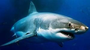 Ataque Real De Tiburon Blanco UKIndex