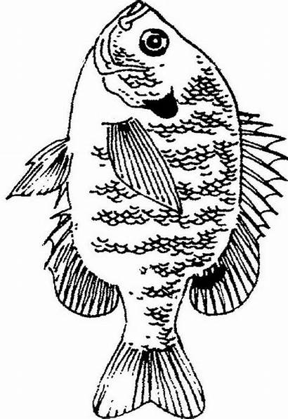 Bluegill Fish Coloring Wood Pages Burning Crappie