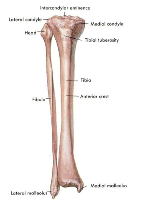 Fibula Growth Plate Anatomy