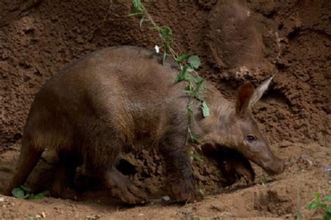 aardvark facts animal facts encyclopedia