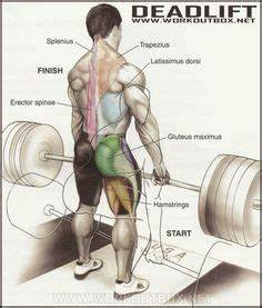 Biceps Exercise Chart Muscles Worked During Deadlifts Deadlift Form Deadlift