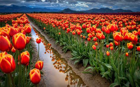 1920x1080 beautiful tulips garden banco de im 193 genes sembrad 237 o de tulipanes holandeses tulips field