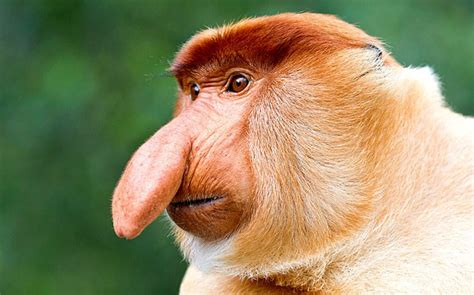 must read ProboscisMonkey org