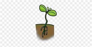 Seedling Clipart Lima Bean Plant  Seedling Lima Bean Plant