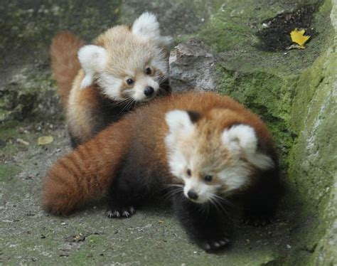 Red Panda Cute Baby Animals
