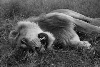 living  lions  lions  dying