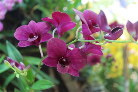 types of orchids types of orchids in thailand thinglish lifestyle