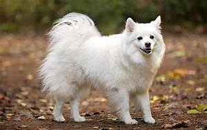 Miniature American Eskimo Dog Photos & Pictures - Dog ...