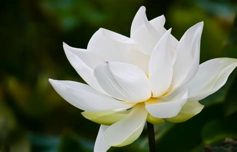 white lotus wallpapers images photos pictures backgrounds