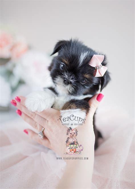 precious  shih tzu puppies  sale teacups