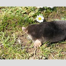 Humane Ways To Remove A Mole From Your Lawn Gardenscom
