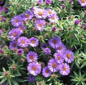 Aster Purple Dome Plant