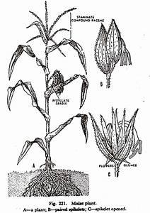 Description Of A Maize Plant  With Diagram