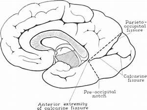 Tumors Of The Occipital Lobe In  Journal Of Neurosurgery