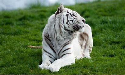 Tiger Tigre Wallpapers Macbook Grass Branco Imac