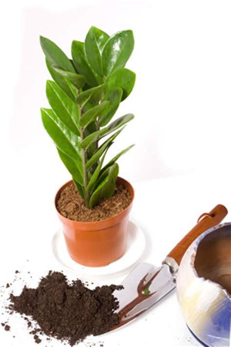 zamioculcas zamiifolia zamie pflege umtopfen und vermehren
