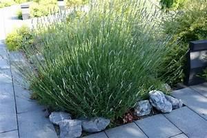 Lavendel Sorten übersicht : lavendula angustifolia echter lavendel mediterrane pflanzen garten pflanzen bambus und ~ Eleganceandgraceweddings.com Haus und Dekorationen