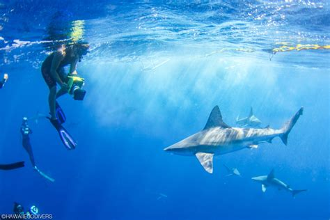hawaii eco divers oahu shark diving  adventure