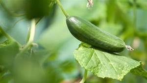 Gurken Im Kübel : gurken in beet und k bel anbauen ratgeber garten nutzpflanzen ~ Frokenaadalensverden.com Haus und Dekorationen