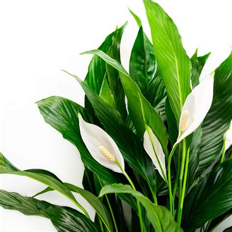 lily plants easy peace dogs cats toxic water spathiphyllum grow