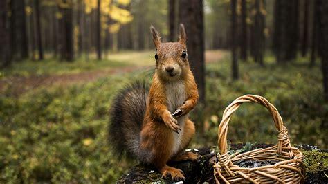 squirrel khiskoli rodent  wallpapers