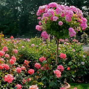 Pink Flowering Shrubs Pictures