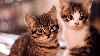 Cat Animals Wallpapers Desktop Cats Animal Background