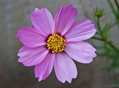 picture of cosmos flower cosmos bipinnatus wikipedia