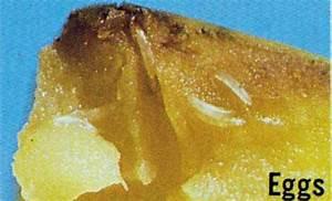oriental fruit fly - Bactrocera dorsalis