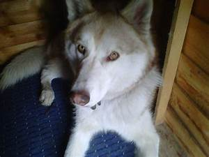 Husky With Green Eyes