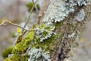 Schädlinge Am Kirschbaum : flechten am kirschbaum schaden sie dem baum ~ Lizthompson.info Haus und Dekorationen