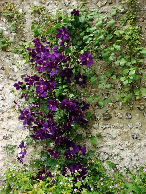 Clematis Jackmanii  Clematis Jackmanii  The Flowers Are