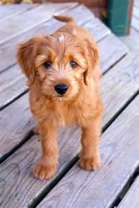 10 week old Miniature Goldendoodle named Nutmeg   Too Cute ...