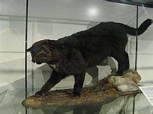 kellas cat wikipedia