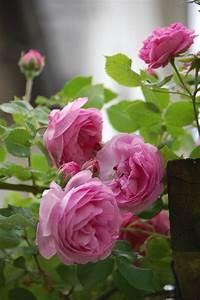 Rosen Selber Ziehen : die besten 25 rosen ideen auf pinterest gelbe rosen ~ Lizthompson.info Haus und Dekorationen