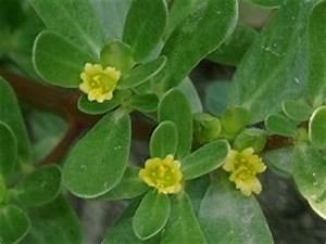 Portulak Pflanzen Kaufen : portulak ~ Michelbontemps.com Haus und Dekorationen