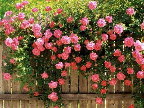 growing roses growing garden roses wilson rose garden
