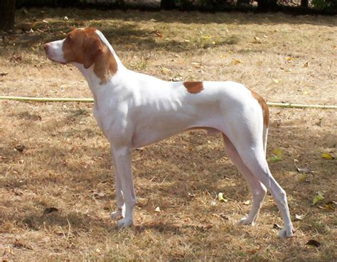 braque saint germain info temperament puppies pictures