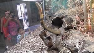 King Cobra San Antonio Zoo  Cobra Rey En El Zool U00f3gico De San Antonio